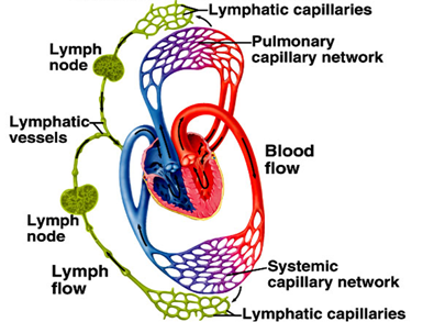 Compare circulatory system and lymphatic system