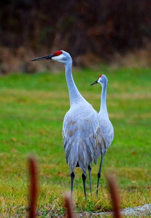 6. sandhill cranes-kab