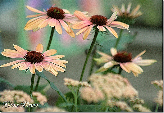 SUmmerSky_Coneflowers