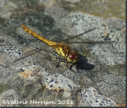 22-common-darter