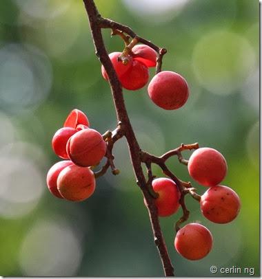 horsfieldia irya fruit