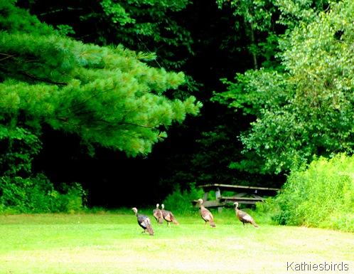 4. wild turkeys-kab