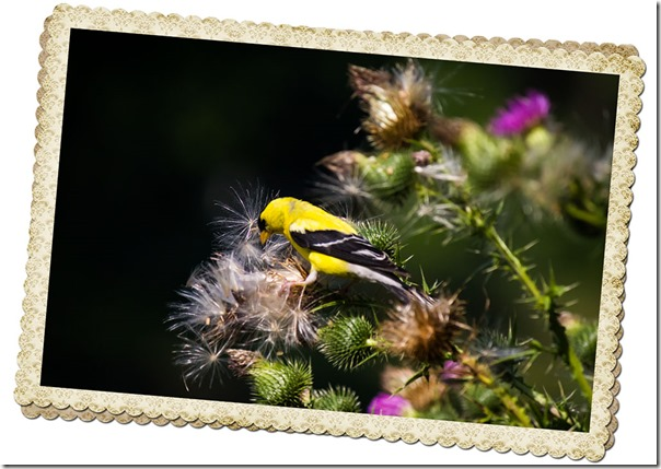 goldfinch on the thistle 2