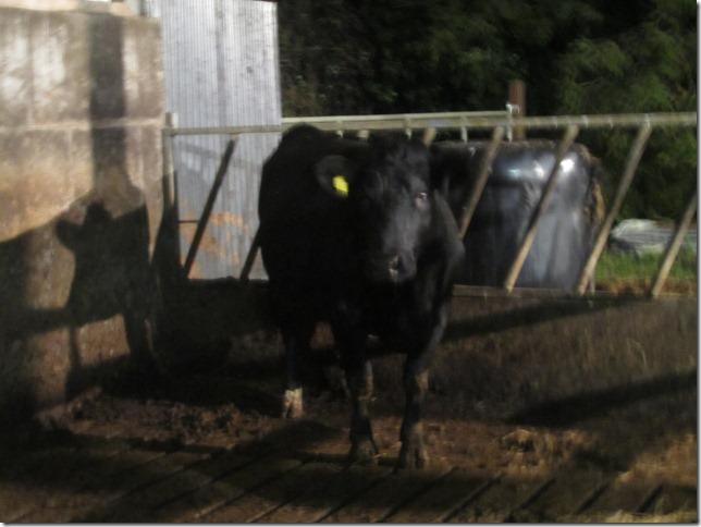 cows 748
