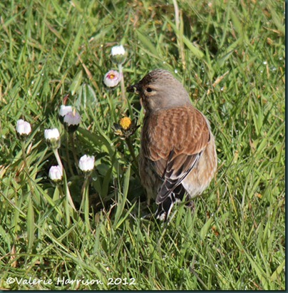 Linnet