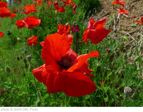 'Poppy favorites' photo (c) 2009, DM - license: http://creativecommons.org/licenses/by-nd/2.0/