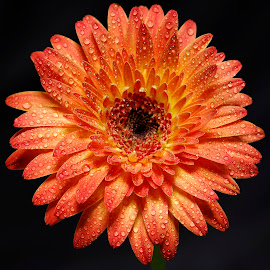 gerbera by Carmelo Parisi - Flowers Single Flower