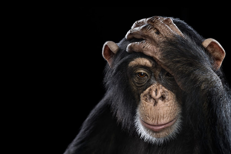 animal-photography-affinity-Brad-Wilson-chimpanzee.jpeg