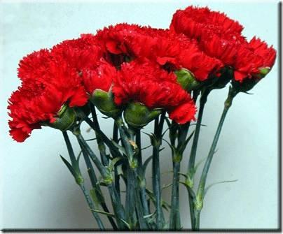 claveles (1)