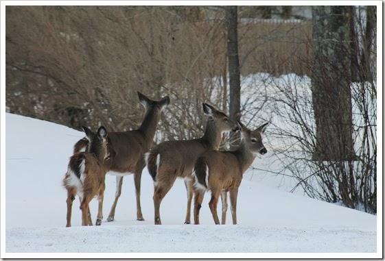 deer 011