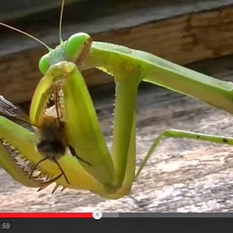 O Mantis  γευματίζει