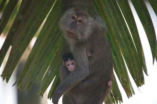 A small macaque clings to its mother.