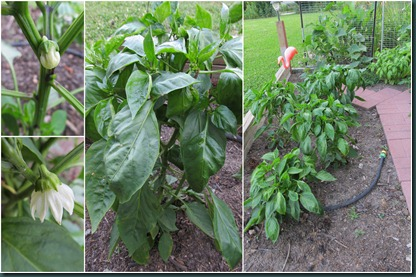 pepper collage2