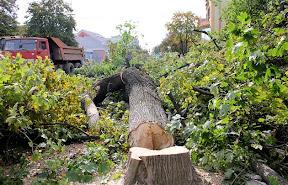 В Ужгороде на Швабской срежут все деревья 3.jpg