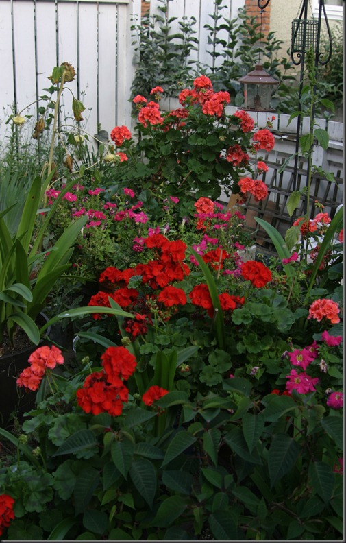 Lots of Geraniums