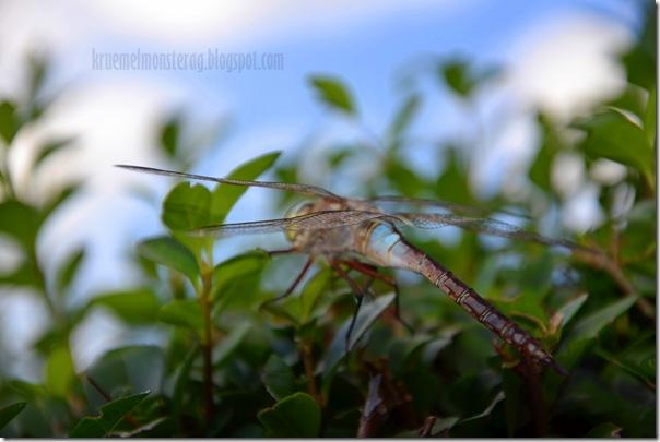 Odonata {Libelle} (4)