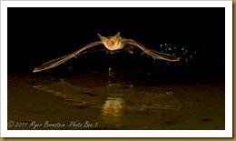 x Pallid Bat_ROT4753  NIKON D3S September 16, 2011