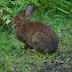 Cottontail.dscn8473