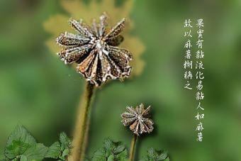 下田菊8-種子.jpg