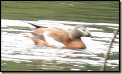 A mystery duck:  Goosander, Long-tailed duck??