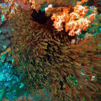 Invasion der kleinen Fische, Komodo