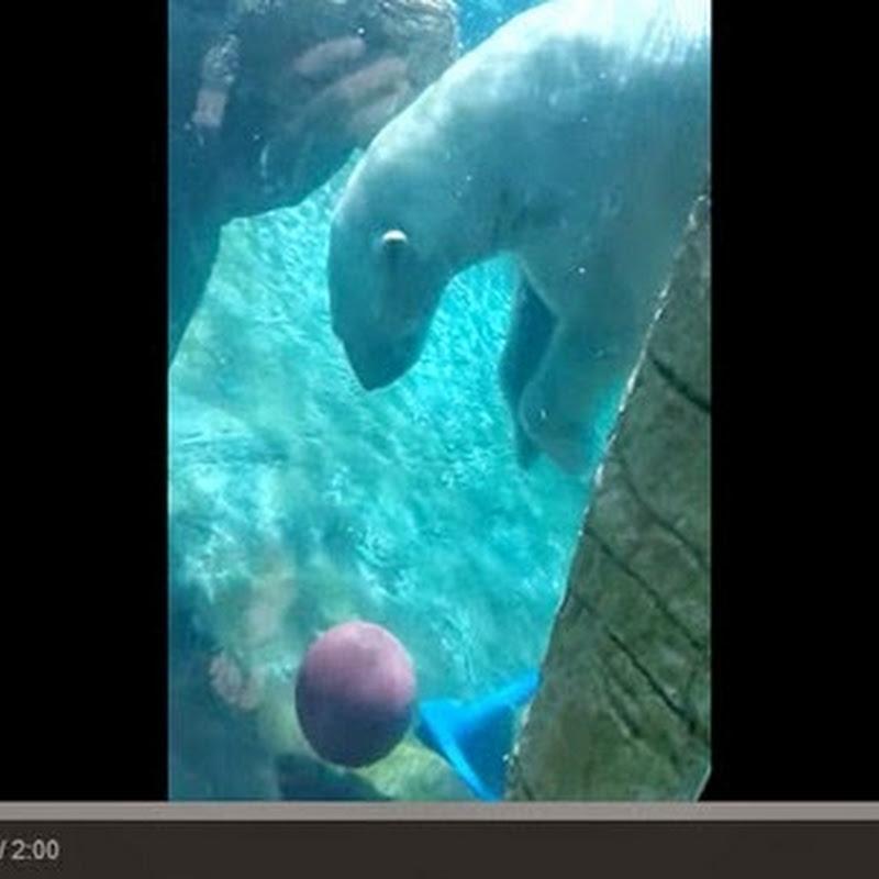 Πολική αρκούδα παίζει μπάσκετ υποβρύχια