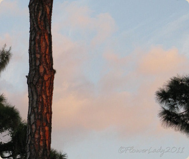 10-01-morning-sun-on-pine