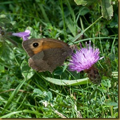 Meadow Brown on Dwarf Thistle