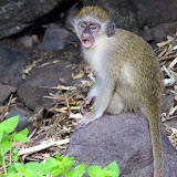 Green Monkey - Basseterre, St. Kitts