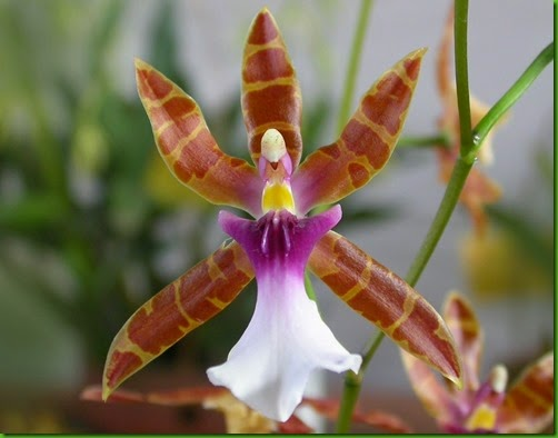 OR Miltonia_clowesii