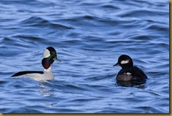 - Bufflehead pair D7K_3382-Edit February 05, 2012 NIKON D7000