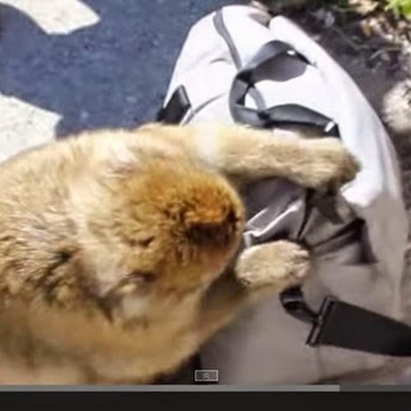Μαϊμού κλέβει  επιπόλαια και  τρώει ένα σάντουιτς