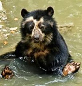 Amazing Pictures of Animals, Photo, Nature, Incredibel, Funny, Zoo, Spectacled bear, Tremarctos ornatus, Mammals, Alex (11)
