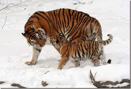 Optimized-Siberian-Tiger-And-Cub