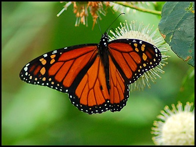 monarch-butterfly-lg