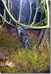 Poisonous Dart Frogs