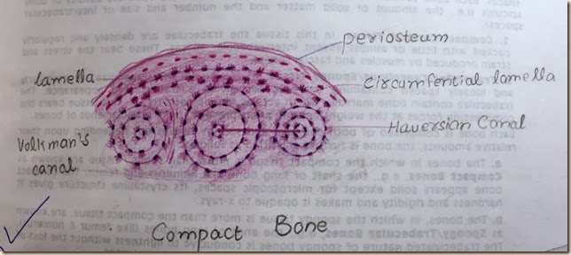 compact bone high resolution histology diagram