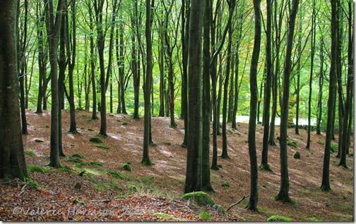 4-Beech-Woods