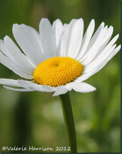 Ox-eye-Daisy