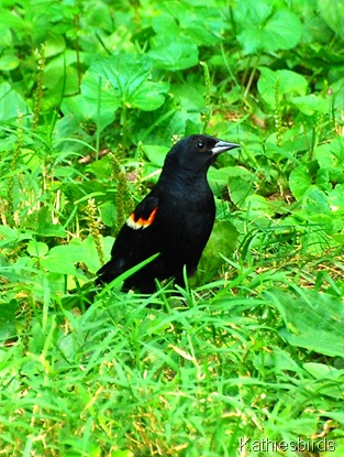 10. red-winged blackbird-kab