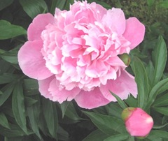 Spring 2012 dads pink double peonies1