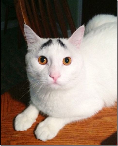 white-cat-eyebrows-8