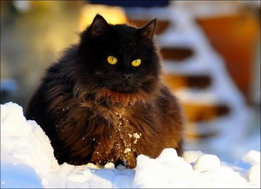 1360262306_cat-in-snow-006
