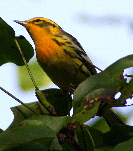 9-18-09, our tulip tree, male Blackburnian Warbler, 9:49 a.m.