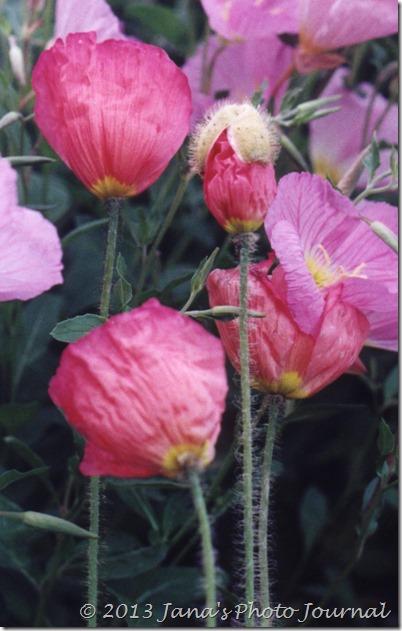 Primroses & Poppies