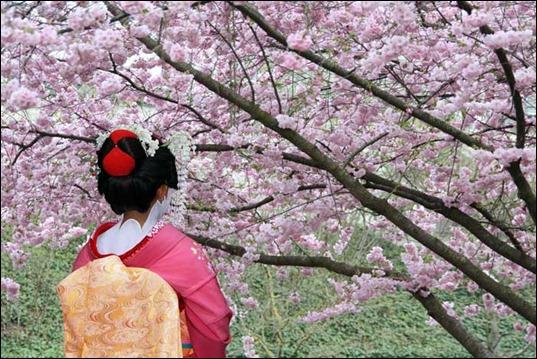Гейша-цветущая-сакура
