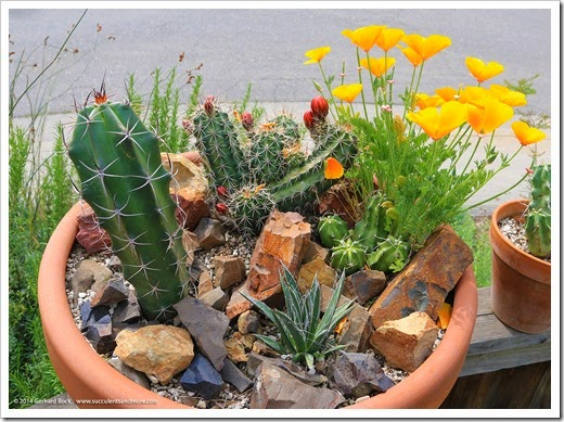 California poppies and claret cup cactus (update)