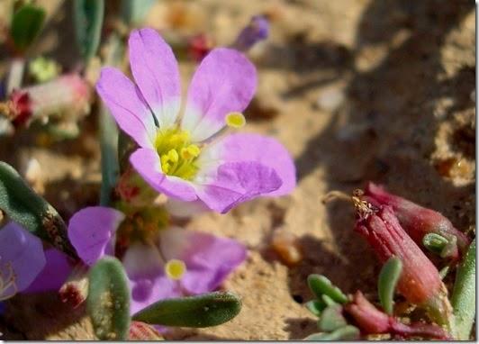 Lythrum flexuosum Lag. (La Zaida)-1