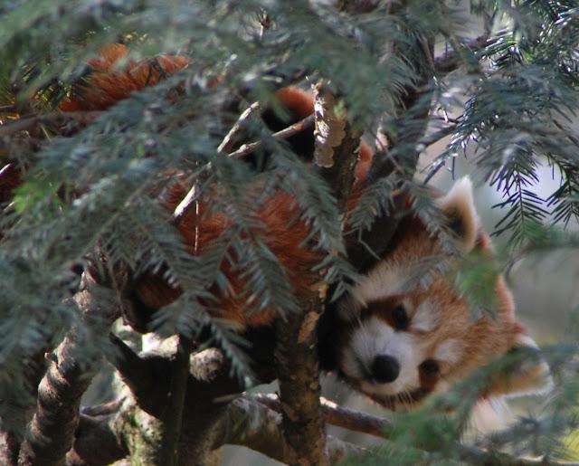 mindre panda 4