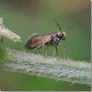 15 micropterix-calthella-3
